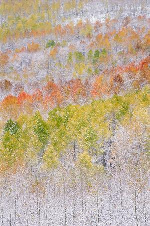 A Forest of Aspen Trees in the Wasatch Mountains, with Striking Yellow and Red Autumn Foliage. Snow