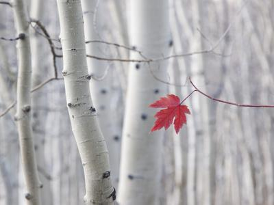 A Single Red Maple Leaf in Autumn, against a Background of Aspen Tree Trunks with Cream and White B
