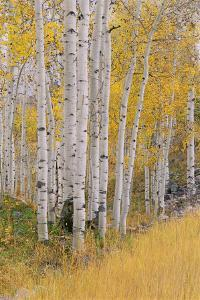 Aspen Trees in Autumn with White Bark and Yellow Leaves. Yellow Grasses of the Understorey. Wasatch by Mint Images - David Schultz