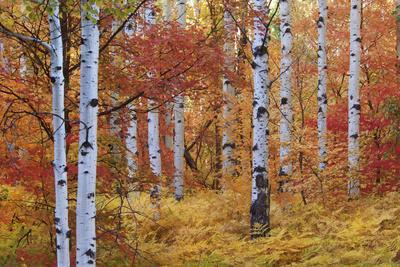Forest of the Rocky Mountain Maple and Quaking Aspen Tree in the Wasatch Mountains. Autumn Season.
