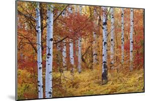 Forest of the Rocky Mountain Maple and Quaking Aspen Tree in the Wasatch Mountains. Autumn Season. by Mint Images - David Schultz