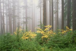 Hemlock and Vine Maple Trees in the Umpqua National Forest. Green and Yellow Foliage. by Mint Images - David Schultz