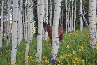 Horse in a Field of Wildflowers and Aspen Trees. Uinta Mountains, Utah.