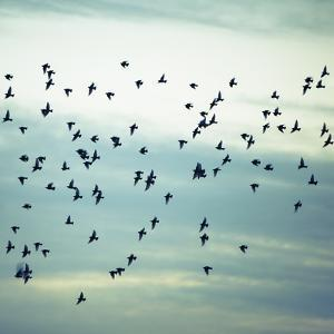 A Flock of Starlings Flying, Darting and Wheeling across a Cloudy Sky in Seattle. by Mint Images - Paul Edmondson