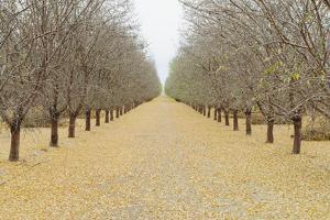 Rows of Pistachio Trees, San Joaquin Valley, near Bakersfield by Mint Images - Paul Edmondson