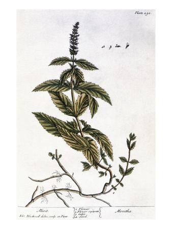 https://imgc.artprintimages.com/img/print/mint-plant-1735_u-l-pff1g90.jpg?p=0