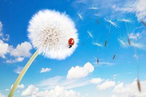 Ladybug On A Dandelion On A Background Of The Sky by Miramiska