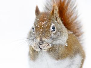 Christmas Squirrel by Mircea Costina