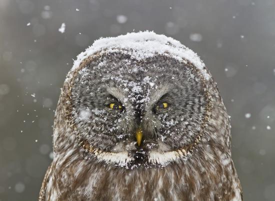 mircea-costina-great-grey-owl-winter-portrait