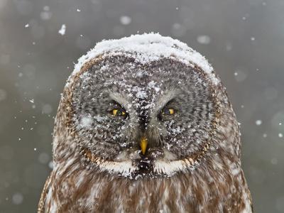 Great Grey Owl Winter Portrait