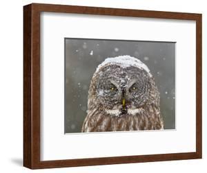 Great Grey Owl Winter Portrait by Mircea Costina