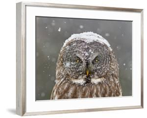 Great Grey Owl Winter Portrait by Mircea Costina