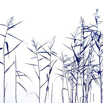 Blue Reeds on White
