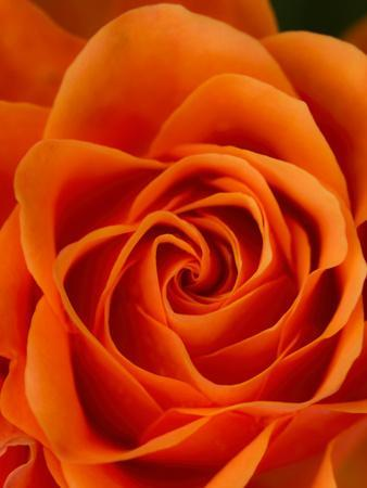 Orange Rose Detail