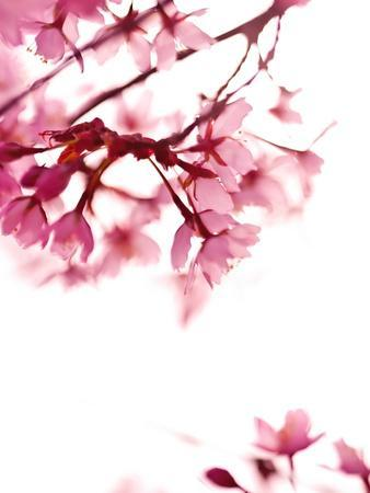 Pink Blossoms In Wind