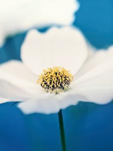 White Cosmos In Blue by Mirja Paljakka