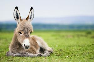 Young Baby Donkey by miskokordic