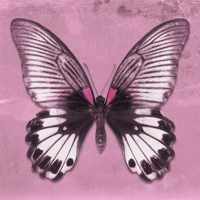 Miss Butterfly Agenor Sq - Pale Violet-Philippe Hugonnard-Photographic Print