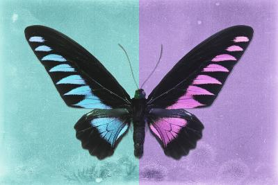Miss Butterfly Brookiana Profil - Turquoise & Mauve-Philippe Hugonnard-Photographic Print