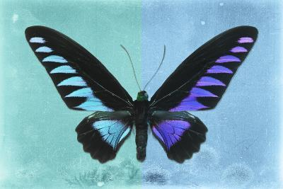 Miss Butterfly Brookiana Profil - Turquoise & Skyblue-Philippe Hugonnard-Photographic Print