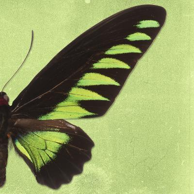 Miss Butterfly Brookiana Sq - Lime Green-Philippe Hugonnard-Photographic Print