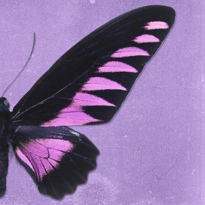 Miss Butterfly Brookiana Sq - Mauve-Philippe Hugonnard-Photographic Print
