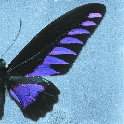 Miss Butterfly Brookiana Sq - Skyblue-Philippe Hugonnard-Photographic Print