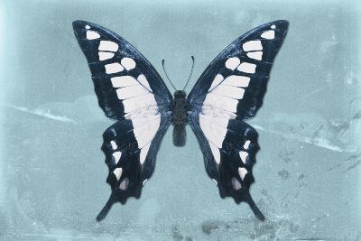 Miss Butterfly Cloanthus - Turquoise-Philippe Hugonnard-Photographic Print