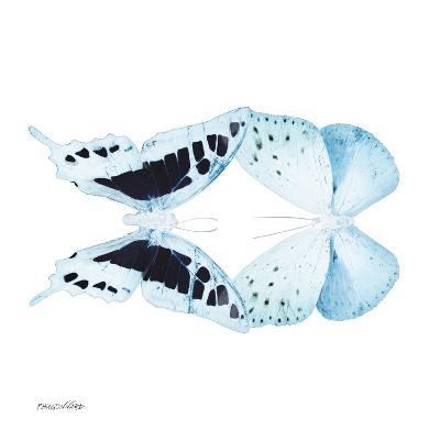 Miss Butterfly Duo Cloanthaea Sq - X-Ray White Edition-Philippe Hugonnard-Photographic Print
