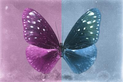 Miss Butterfly Euploea - Hot Pink & Blue-Philippe Hugonnard-Photographic Print