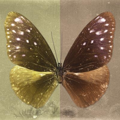 Miss Butterfly Euploea Sq - Gold & Caramel-Philippe Hugonnard-Photographic Print