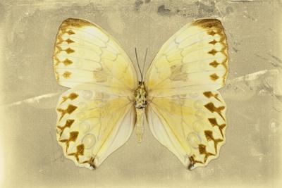 Miss Butterfly Formosana - Yellow-Philippe Hugonnard-Photographic Print