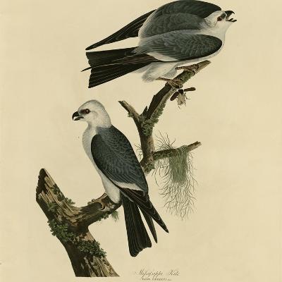 Mississippi Kite--Giclee Print
