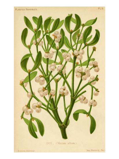 Mistletoe (Gui)--Giclee Print