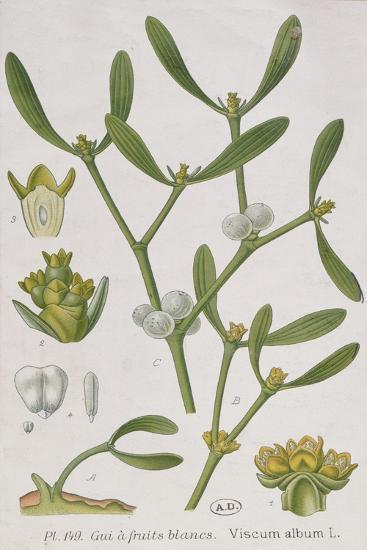 Mistletoe--Giclee Print