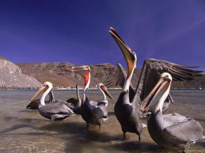 Grey Pelicans, Mexico by Mitch Diamond