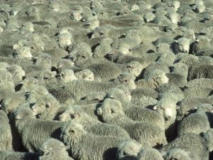 Herd of Sheep by Mitch Diamond