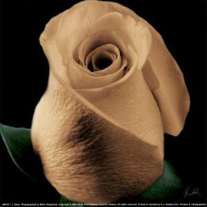 Rose by Mitch Ostapchuk