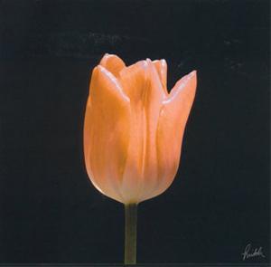Tulip by Mitch Ostapchuk
