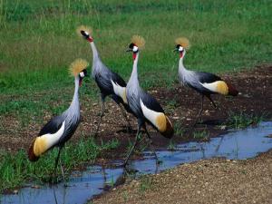 Four Grey Crowned-Cranes (Balearica Regulorum), Masai Mara National Reserve, Rift Valley, Kenya by Mitch Reardon