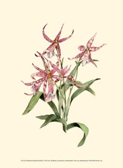 Mittassia Hybrid Orchid-Joy Waldman-Art Print