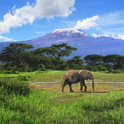 A Lone African Elephant (Loxodonta Africana) by Mt. Kilimanjaro, Amboseli Nat'l Park, Kenya by Miva Stock