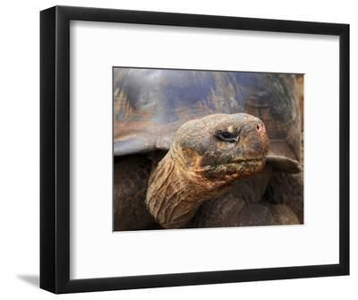 Close Up of a Galapagos Tortoise, Giant Tortoise, Geochelone Nigra, Galapagos Islands, Ecuador
