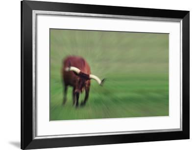 Mixed Breed Bull Ready to Charge-DLILLC-Framed Photographic Print