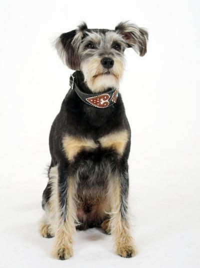 Mixed Breed Dog Sitting Down, One Ear Raised-Petra Wegner-Photographic Print