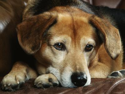 Mixed Breed Dog Sitting on Sofa-Petra Wegner-Photographic Print