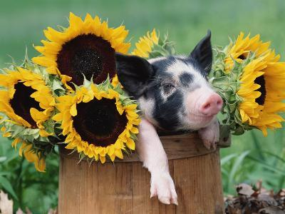 Mixed-Breed Piglet in Basket with Sunflowers, USA-Lynn M^ Stone-Photographic Print