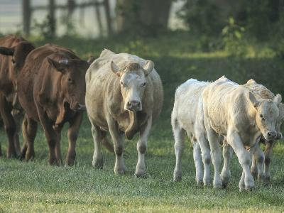Mixed Cattle Coming for Water, Florida-Maresa Pryor-Photographic Print