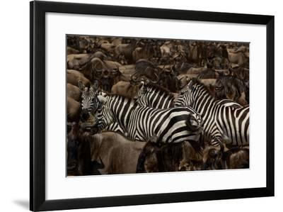 Mixed Herds of Burchell's Zebra and Wildebeest on the Move in the Plains of the Serengeti-Michael Nichols-Framed Photographic Print