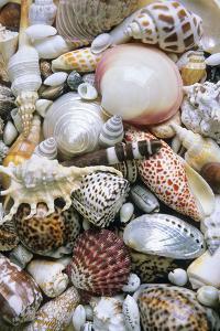 Mixed South Sea Shells